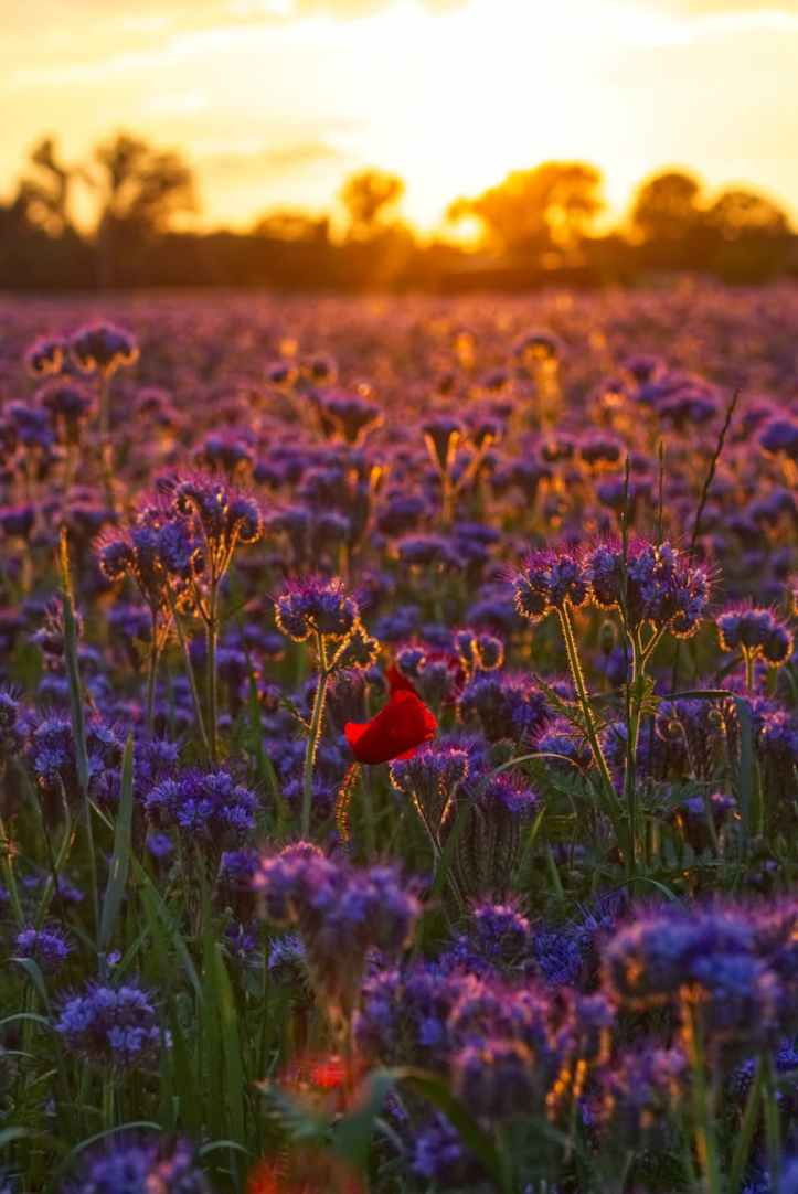 photo of purple flowers during dawn