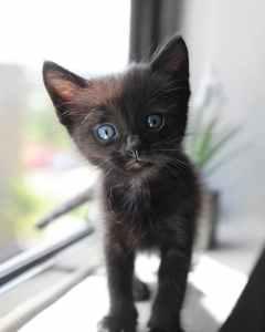 cute short fur black kitten with blue eyes